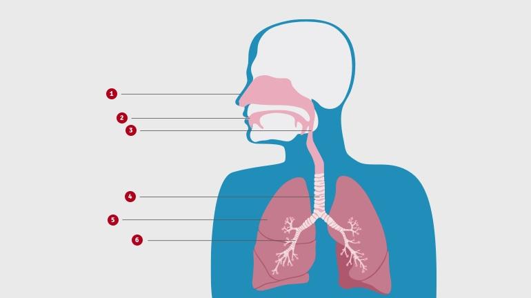Viršutinės kūno dalies schemoje rodoma kvėpavimo takų sandara